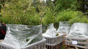 Kolmisenkymmentä koeviljelijää istuttaa kymmentä bambulajiiketta tonteilleen.