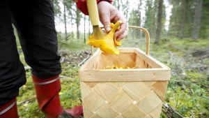 Sienestäjä puhdistaa keltavahveroita.
