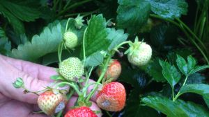 Raakoja ja homehtuneita mansikoita