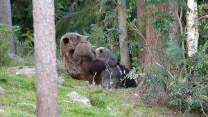 Karhu imettää pentuja.