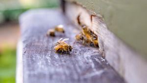 Mehiläisiä tarhalla
