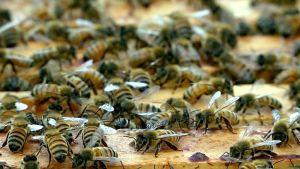 Mehiläisiä pesässä.