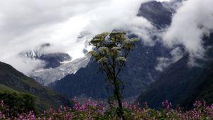 Kuvan etualalla kasvaa erilaisia kukkia. Taustalla näkyy lumipeitteisiä pilvien osittain peittämiä vuoria.