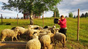 Nainen ruokkii lampaita.