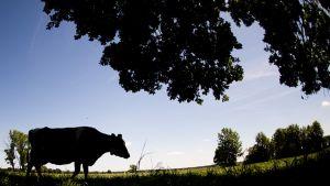 Lehmän siluetti