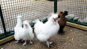 Kolme pörröistä valkoista kanaa häkissä.