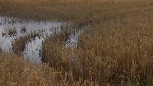 Vettä viljapellolla