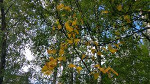 Koivussa on sienitauti, joka kellastuttaa lehdet ja tekee lehtiin ruskeita, jopa mustia laikkuja.