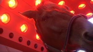 Hevonen infrapunalämmittimen alla