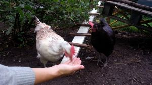 Kanat nokkivat jyviä naisen kädestä.