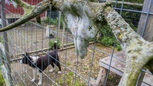 Karjalankarhukoira häkissä, etualalla sammaloitununeet hirvansrvet kallossa kiinni.