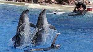 kaksi delfiiniä hyppää altaasta