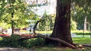 Pudonneita puunoksia Tampereen Hämeenpuistossa.