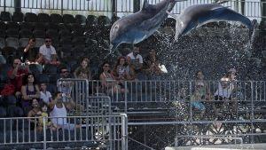 Delfiinejä Attica Zoological Parkissa Kreikassa.
