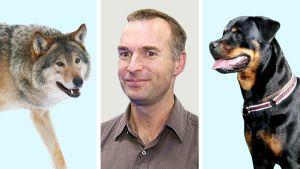 Kuvakollaasi, jossa susi, ihminen ja koira.