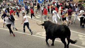 Härkäjuoksu Espanjan Tordesillasissa.