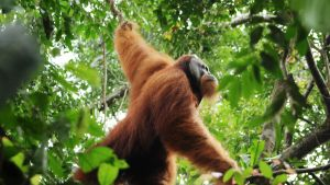 Sumatranoranki.