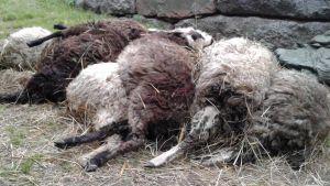 Kuolleita lampaita