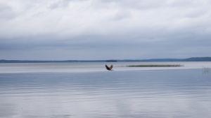 Haukka Sotkamon Nuasjärvellä. Talvivaaran purkuputki laskee Nuasjärveen.