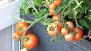 Tomaatteja pihan kasvihuoneessa.
