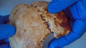 Tutkijan sinihansikkaiset kädet pitelevät kahta kalloluuuta.