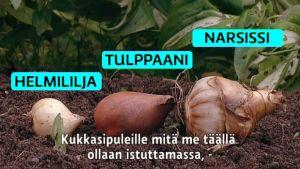 Ensimmäiset liki kolmetuhatta sipulia kylvettiin maanantaina puoliltapäivin Kaunialan sairaalan pihalle Kauniaisiin talkoovoimin.