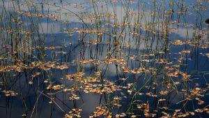 Lehtiä järven pinnalla.