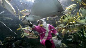 Rauskun ruokintaa Singaporen akvaariossa