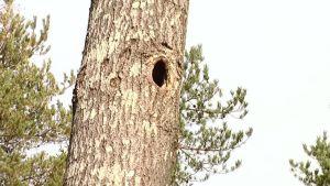 Liito-oravan pesäkolo Kriivarissa