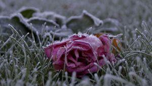 Kuurainen ruusu nurmikolla.
