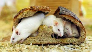 Hiiret ovat syöneet leivän kuoren sisältä.