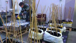 Puutarhatyöntekijä Heli Valtonen kastelee Juvalla tryffelitammen taimia.
