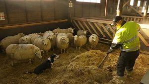 Juha Annala levittää kuivikkeita lampaitten karsinaanpaimenkoiran valvonnassa.