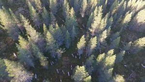 Ilmasta näkee liikkuvat porot hyvin tiheästäkin metsästä.