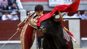 Matadori heilauttaa punaista viittaa verisen härä yli.
