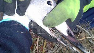 Joutsenen poikanen sotkeutui hengenvaarallisesti kalastusiimoihin Pihtiputaalla.