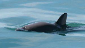 Kalifornianpyöriäisen pyöreä selkä ja pyrstöevä pilkistävät vedestä.