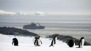 Pingviinejä Antarcticalla.