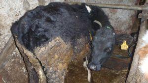Karsinassa oleva nauta, joka on ulosteen peitossa lonkkia myöten.
