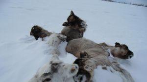 jamal siperia kuolleet porot venäjä