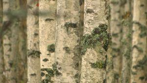 Koivunrunkoja metsässä.