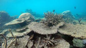 Marraskuussa 2016 otetussa kuvassa näkyy kuollutta Acropora-korallia.