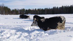 Lehmät lumihangessa