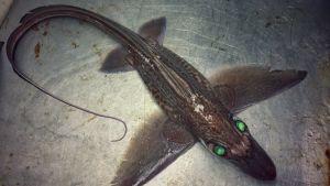 Barentsinmerestä pyydystetty kala.