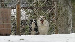 Koiria häkeissä hoitolassa