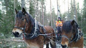 Peter Ekholm ohjastaa työhevosia metsässä
