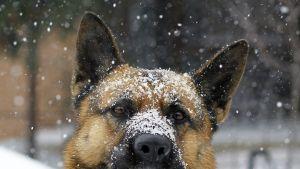 Saksanpaimenkoiran kuono on lumen kuorruttama.