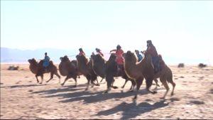 Kamelit juoksukilpailussa.