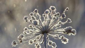 jäätynyt kukkanen