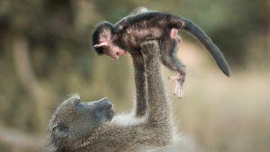 Paviaaneja Krugerin kansallispuistossa Etelä- Afrikassa.